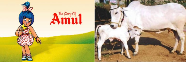 """The AMUL-PETA controversy! Is cow just a valuable cog in our dairy industry or can it take care of an entire village's farmlands with its other miracles? Find out why we call a cow """"gaumata"""" !"""